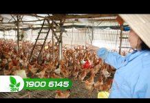 Xem Khởi nghiệp 186: Bí quyết thiết kế chuồng nuôi gà bán chăn thả