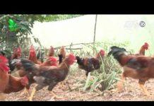 Xem Nuôi gà thả vườn chỉ với 140 triệu đồng? – Khởi nghiệp 116