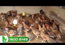 Xem Khởi nghiệp số 98: Điều kiện để xây dựng trang trại chăn nuôi gà