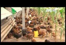 Xem Khởi nghiệp: Anh Tường Duy Cấp: Mô hình nuôi gà thả vườn