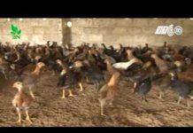Xem Khởi nghiệp 84: Chăn nuôi gà thả vườn đúng cách?
