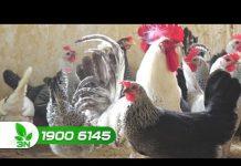 Xem Khởi nghiệp 174: Bí quyết nuôi gà hướng trứng thành công