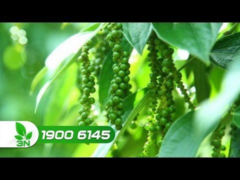 Xem Khởi nghiệp 180: Hướng dẫn cách trồng và chăm sóc cây hồ tiêu