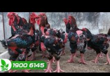 Xem Khởi nghiệp 184: Khởi nghiệp với mô hình nuôi gà lai Đông Tảo