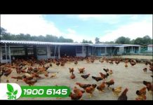 """Xem Khởi nghiệp: Dựng chuồng nuôi gà theo chuẩn mực """"vàng"""""""