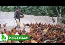 Xem Khởi nghiệp số 125: Muốn nuôi gà thành công cần tránh những sai lầm này