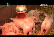 Xem Khởi nghiệp số 64 : Kinh nghiệm chăn nuôi lợn chuyên nghiệp | Anh Nguyễn Văn Dương