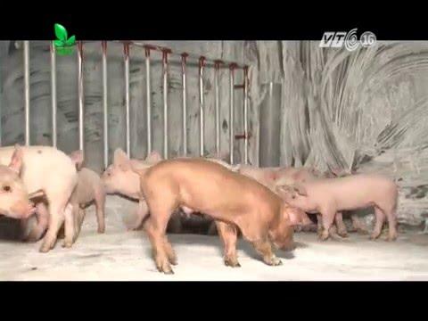 Xem Khởi nghiệp số 65: Mô hình chăn nuôi lợn thương phẩm | Chị Trịnh Thị Nhung