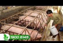 Xem Khởi nghiệp số 130 : Bí quyết làm giàu từ chăn nuôi lợn thương phẩm