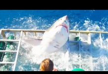 Xem Great White Shark Cage Breach Accident