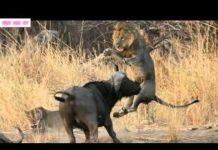 Xem Thế Giới Động Vật Hoang Dã-Cuộc Chiến sinh tử Giữa  Trâu và SƯ TỬ(Lion vs Buffalo).