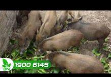 Xem Lợn rừng sạch nhờ nuôi theo phương pháp hữu cơ