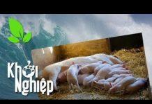 """Xem """"Phong ba bão táp"""" không ngăn nổi ý chí khởi nghiệp nuôi lợn – Khởi nghiệp 319   SĐTdep.com"""