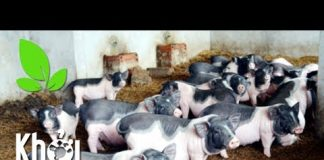 """Xem Tái đàn lợn với ý tưởng độc đáo, không lo """"bão giá"""" – Khởi nghiệp 229"""