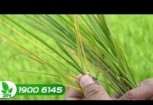 Xem Bệnh bạc lá di động trên cây lúa: Biểu hiện và cách phòng tr