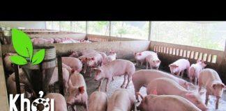 Xem Giải pháp nuôi lợn thời bão giá: Giữ đàn lợn thịt để gây nái- Khởi nghiệp 209