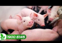 Xem Khởi nghiệp 183: Giá lợn càng thấp, người nuôi càng phải chú trọng đến đàn lợn