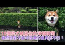 见 12個柴犬被困住的滑稽瞬間,雖然很對不起可是真的會笑到不行!