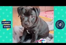 View TRY NOT TO LAUGH – Ultimate FUNNY & CUTE Animal Videos Compilation | Funny Vines July 2018