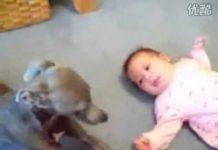 见 爆笑家庭宠物滑稽录像 史上最会哄宝宝的狗狗