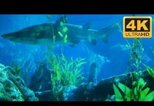 Xem Shark Tank in 4K: Shark Aquarium *****
