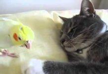 见 关爱鹦鹉滑稽鹦鹉和一只猫