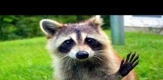 View 10 Funniest Raccoon Videos