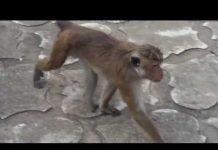见 猴攻擊!野生猴攻擊!滑稽的猴子偷東西編譯2015年七月