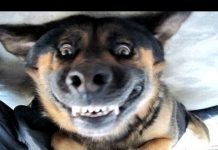 见 滑稽的狗叫声 – 一个有趣的狗吠声视频。汇编