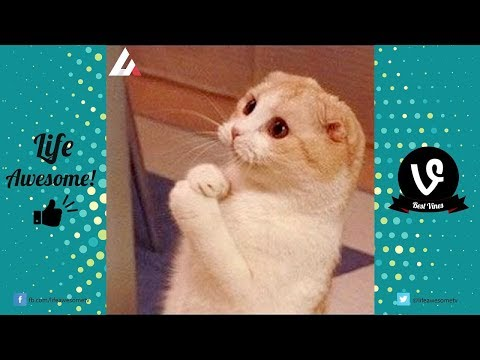 View Try Not To Laugh Challenge – 23 Funny Cats Videos You'll Die Laughing