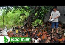 Xem Khởi nghiệp số 143 : Chăn nuôi gà mía – chỉ 100 ngày lãi vài chục triệu