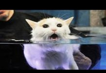 View Cats Hate Water! – Funny Cats in Water Compilation 2016