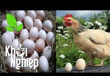 Xem Cách chăm sóc để gà đẻ nhiều trứng nhiều và to – Khởi nghiệp 257