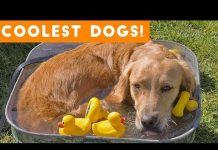 View Dog Days of Summer Coolest Dogs of 2018 | Funny Pet Videos