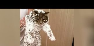 View Bet you havent't LAUGHED THAT HARD before! – Super FUNNY CATS