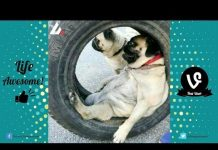 View Try Not To Laugh Funny Dogs Compilation | Funny Pet Videos