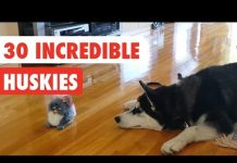 View 30 Incredible Huskies | Funny Dog Video Compilation 2017