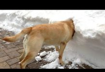 View FUNNIEST DOGS in SNOW COMPILATION – Haven't seen better yet! Enjoy watching and LAUGH with us!