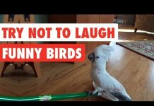 View Try Not To Laugh | Funny Birds Video Compilation 2017