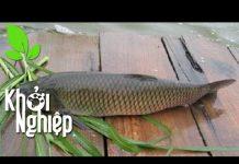 Xem Chỉ cần xem cá ăn, biết cá lớn nhanh hay chậm – Khởi nghiệp 321