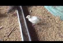 Xem Khởi nghiệp nuôi chim cút thả vườn thu nhập hơn 9 triệu đồng tháng