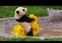 View TRY NOT TO LAUGH: FUNNIEST PANDA VIDEOS EVER | Funny Babies and Pets