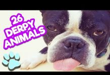 View 26 Derpy Animals You Will Love | Funny Animal Compilation | #thatpetlife