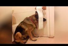 View This is why  GERMAN SHEPHERDS are the FUNNIEST  DOGS –  Funny DOG  compilation