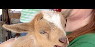 View Cutest Baby Goat Compilation Ever!   Funny Pet Videos