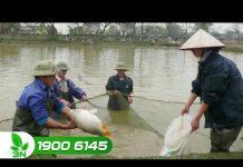 Xem Khởi nghiệp 153: Những điểm mấu chốt để nuôi cá thành công
