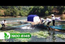 Xem Khởi nghiệp 176: Cận cảnh mô hình nuôi cá lồng trên hồ Cấm Sơn
