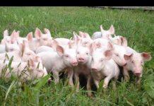 Xem Khởi nghiệp 83: Tận dụng thảo dược phòng bệnh cho lợn?