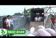 Xem Khởi nghiệp 154: Nhập lợn giống thời điểm này có thích hợp hay không?