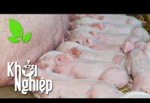 Xem Giữa thời bão giá, lợn nái có bị giảm khẩu phần ăn? – Khởi nghiệp 252